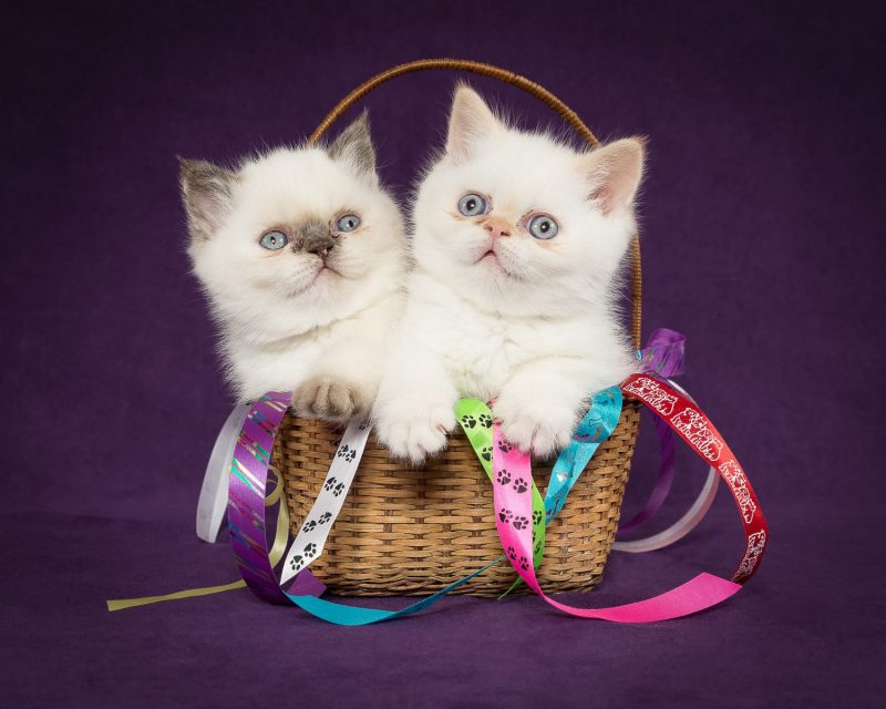 exotic shorthair kittens in a basket