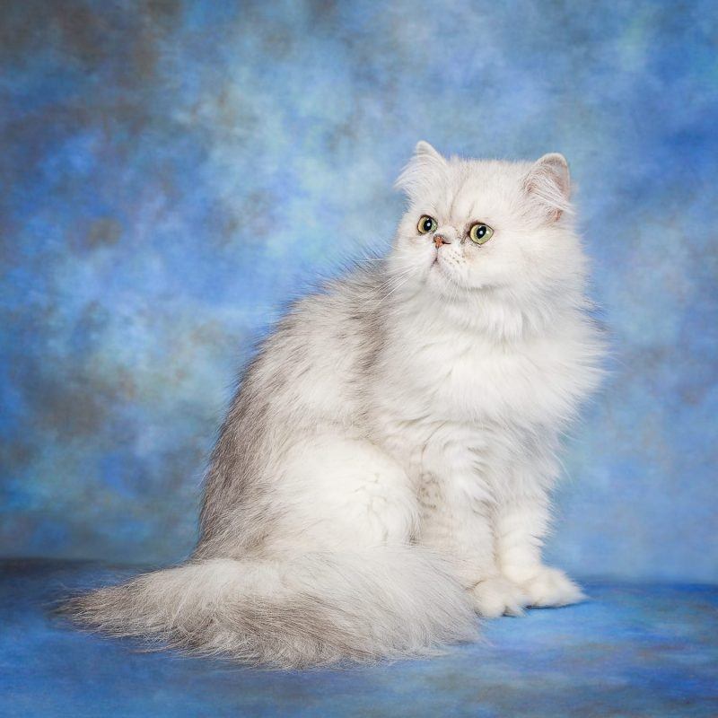 pet portrait of persian cat