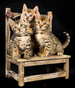 bengal kittens on chair
