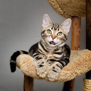 brown tabby kitten