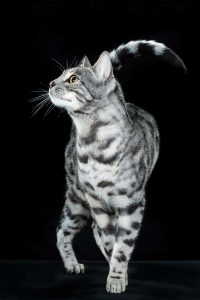 silver bengal cata