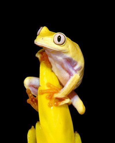 yellow red eye tree frog